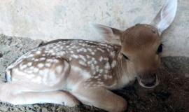 Целый гарем европейских ланей в Бахчисарайском зоопарке превратился в роддом