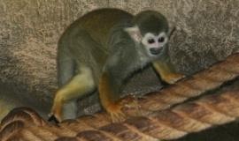 Тарзан – самец саймири из Алуштинского парка «Мир джунглей» получит новый дом