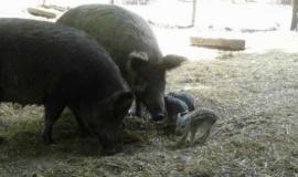 В зоопарке Бахчисарайского Парка Миниатюр родились кабанята