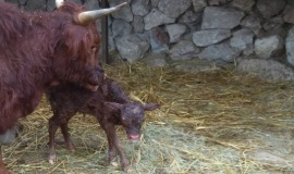 Новогодним подарком в Бахчисарайском зоопарке стало рождение шотландской коровки