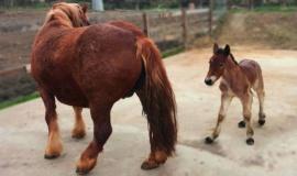 Лошади-тяжеловозы принесли потомство