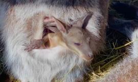 Малыш кенгуру встречает весеннее тепло, выбираясь из маминой сумки