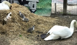 Впервые лебедь-шипун принес потомство в условиях содержания в неволе