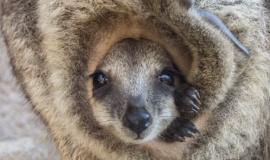 Безымянный пока что кенгуренок из Бахчисарайского парка миниатюр получит «зимнее» имя