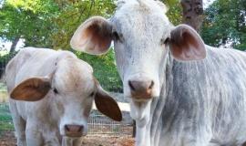 Новые жители парка. Зебувидные коровы