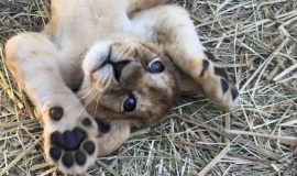 Маленькие львы – обитатели Бахчисарайского зоопарка – безопасны