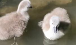 В первые дни мая в Бахчисарайском парке миниатюр на свет появились лебеди